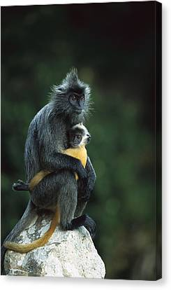 Silvered Leaf Monkey And Baby Canvas Print
