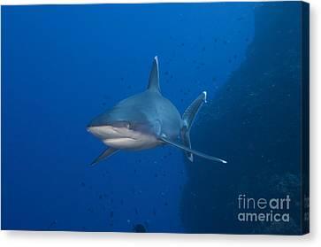 Silvertip Shark, Kimbe Bay, Papua New Canvas Print by Steve Jones