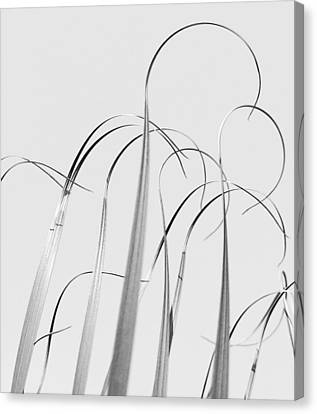 Silvery Soaring Slivers Of Grass Canvas Print by Lynn Wohlers