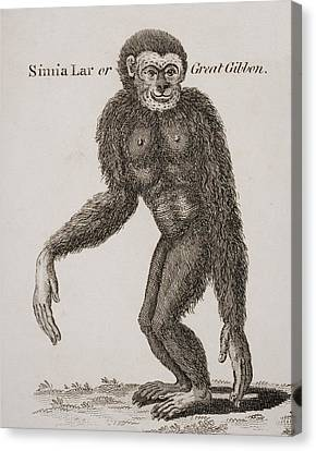 Simia Lar, Great Gibbon. Engraved By Canvas Print by Ken Welsh