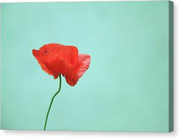Simple Red Poppy On Turquoise Blue Canvas Print by Poppy Thomas-Hill