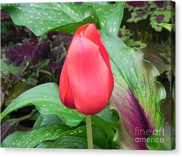 Simple Red Tulip Canvas Print by Sandy Owens