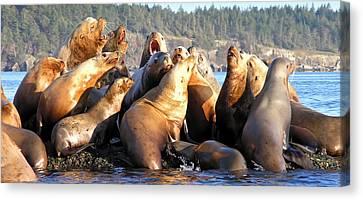 Hornby Island Canvas Print - Singing Sea Lions by Derek Holzapfel