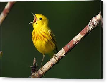 Singing Yellow Warbler Canvas Print
