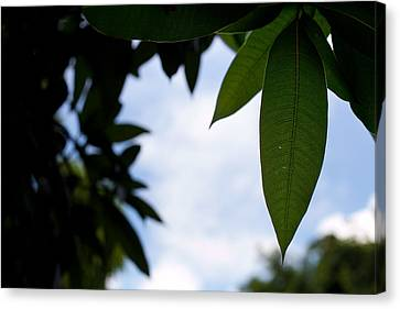 Single Mango Leaf Silhouetted Against The Sky Canvas Print by Anya Brewley schultheiss