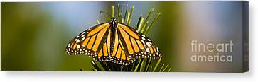 Single Monarch Butterfly Canvas Print by Darcy Michaelchuk