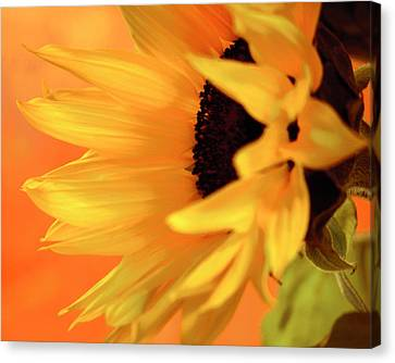 Single Sunflower Canvas Print by James Bethanis