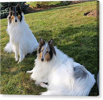 Sitting Pretty Collie Dogs Canvas Print by Kay Novy
