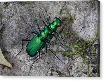 Canvas Print featuring the photograph Six-spotted Tiger Beetles Copulating by Daniel Reed