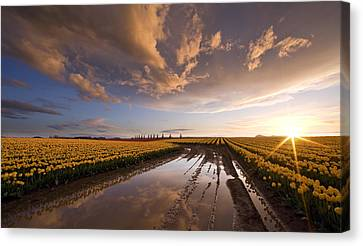 Daffodils Canvas Print - Skagit Sunset Reflected by Mike Reid