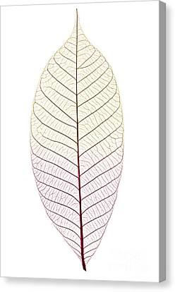 Skeleton Leaf Canvas Print by Elena Elisseeva