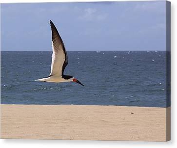 Skimmer In Flight Canvas Print