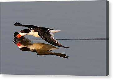 Skimming Run Canvas Print by Phil Lanoue