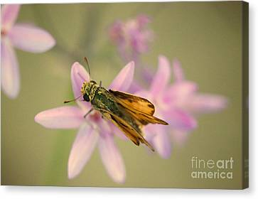Skipper Butterfly Canvas Print by Brooke Roby