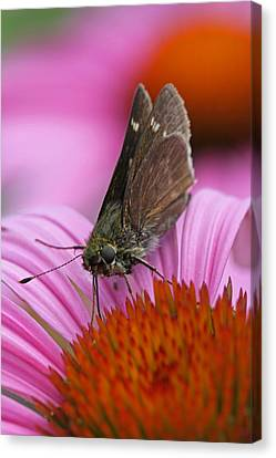Skipper Moth Macro Photography Canvas Print by Juergen Roth