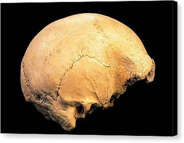 Skull 4, Sima De Los Huesos Canvas Print by Javier Truebamsf
