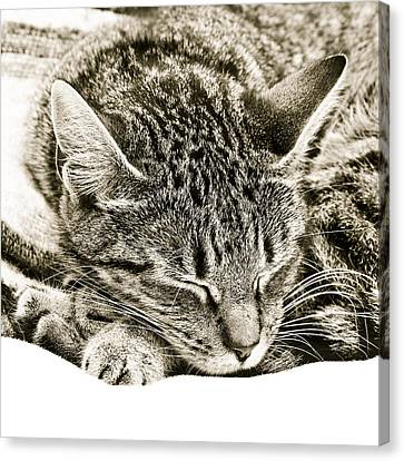 Sleeping Cat Canvas Print by Tom Gowanlock