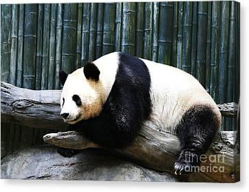 Sleeping Panda Canvas Print
