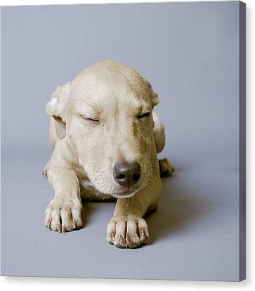 Sleeping Puppy On White Background Canvas Print