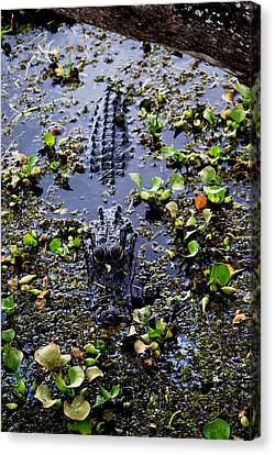 Sleepy Alligator Canvas Print by Luis and Paula Lopez
