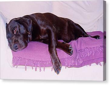 Canvas Print featuring the photograph Sleepy Chocolate Labrador Hooch by Richard James Digance