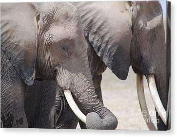 Sleepy Elephants Canvas Print by Alan Clifford