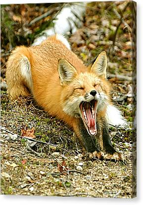 Canvas Print featuring the photograph Sleepy Fox by Rick Frost