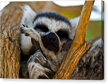 Sleepy Lemur Canvas Print by Justin Albrecht