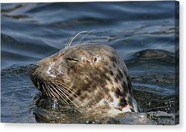 Sleepy Seal Canvas Print