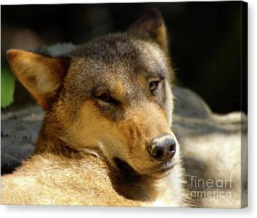 Canvas Print featuring the photograph Sleepy Wolf by Charles Lupica