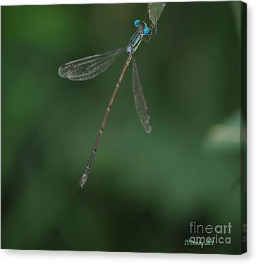 Slender Speadwing Damselfly Canvas Print