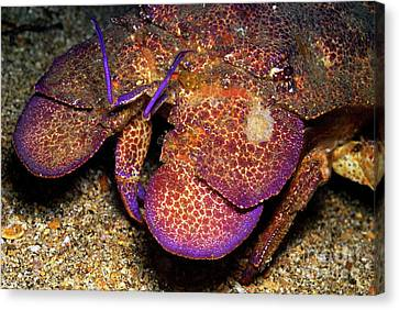 Slipper Lobster On Seabed Canvas Print by Sami Sarkis