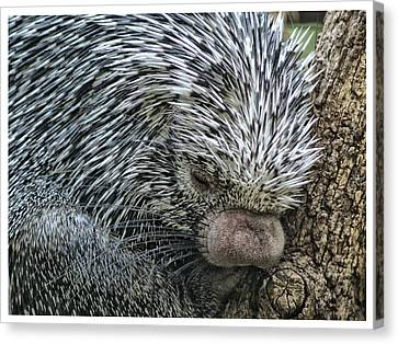 Canvas Print featuring the photograph Slumbering Porcupine  by Yvonne Emerson AKA RavenSoul