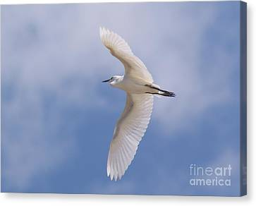 Canvas Print featuring the photograph Small Egret Flying Over The House by John  Kolenberg