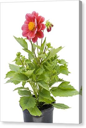 Canvas Print featuring the photograph Small Flower In A Small Pot by Aleksandr Volkov