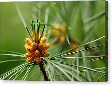 Small Male Cones On A Pine Tree Canvas Print by Darlyne A. Murawski