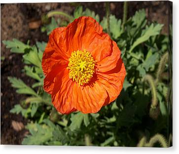 Small Orange Poppy Canvas Print