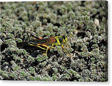 Small Painted Locust Canvas Print by Sami Sarkis