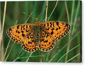 Small Pearl-bordered Fritillary Canvas Print by Roel Hoeve