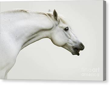 Forelock Canvas Print - Smiling Grey Pony by Ethiriel  Photography