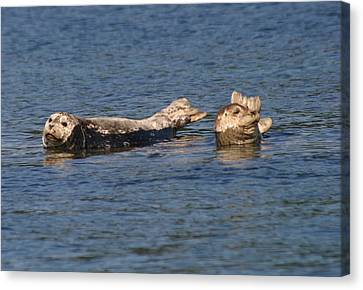 Smiling Seals Of Puget Sound Canvas Print by Kym Backland
