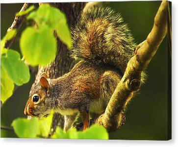 Snaggletooth Squirrel In Tree Canvas Print by Bill Tiepelman