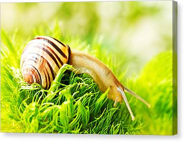 Snail Canvas Print by Copyright OneliaPG Photography