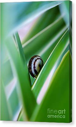 Canvas Print featuring the photograph Snail On Yuca Leaf by Werner Lehmann