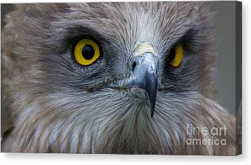 Snake Eagle 2 Canvas Print by Heiko Koehrer-Wagner