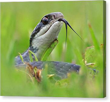 Snake In The Grass Canvas Print by Jessie Dickson