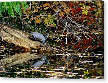 Autumn Soup Canvas Print - Snapper Turtle by Frozen in Time Fine Art Photography