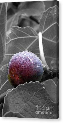 Sneaky Fig Black And White Canvas Print