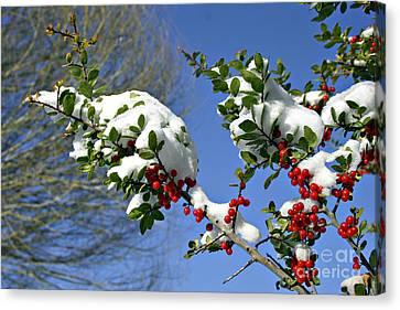 Snow Berrys Canvas Print