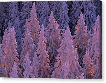 Snow Blanketed Fir Trees In Germanys Canvas Print by Norbert Rosing